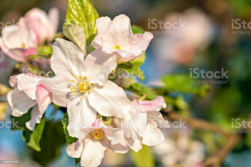 Apple Blossom buds stock photo
