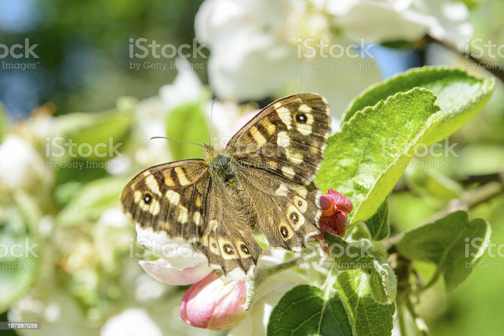 Apple blossom butterfly royalty-free stock photo