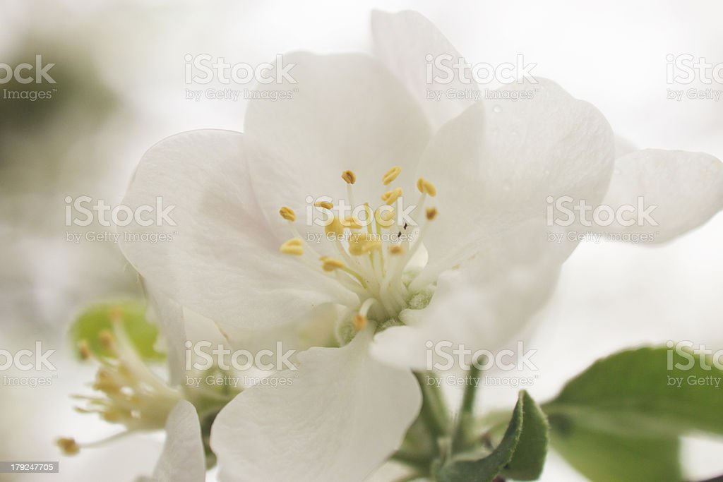 Apple blossom close up royalty-free stock photo