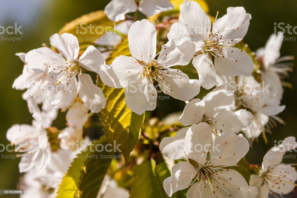 Apple blossom close-up stock photo
