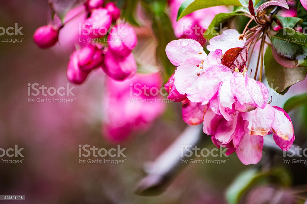 apple blossom flowers royalty-free stock photo