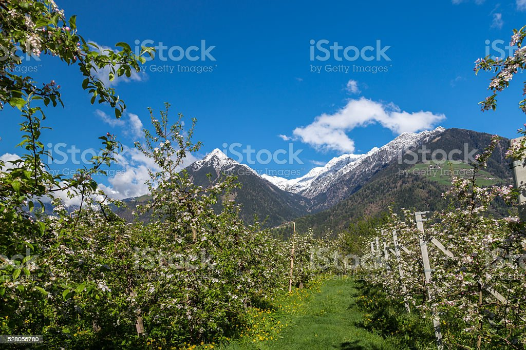 Apple blossom in South Tyrol stock photo