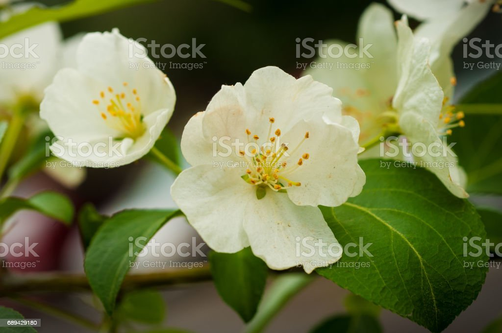 apple blossom in spring stock photo