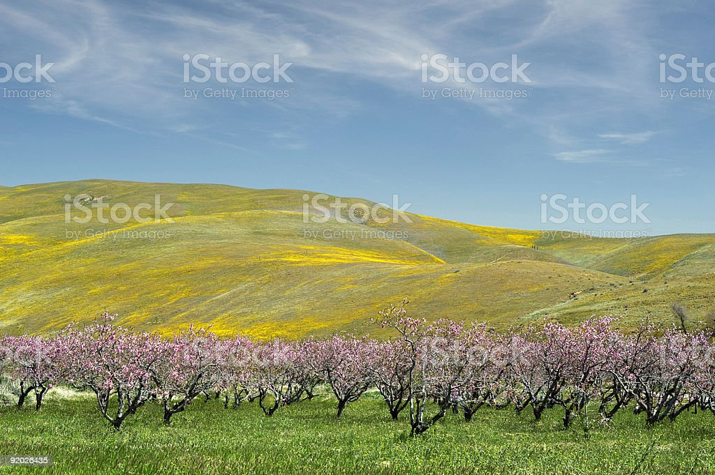 Apple blossom in spring time royalty-free stock photo