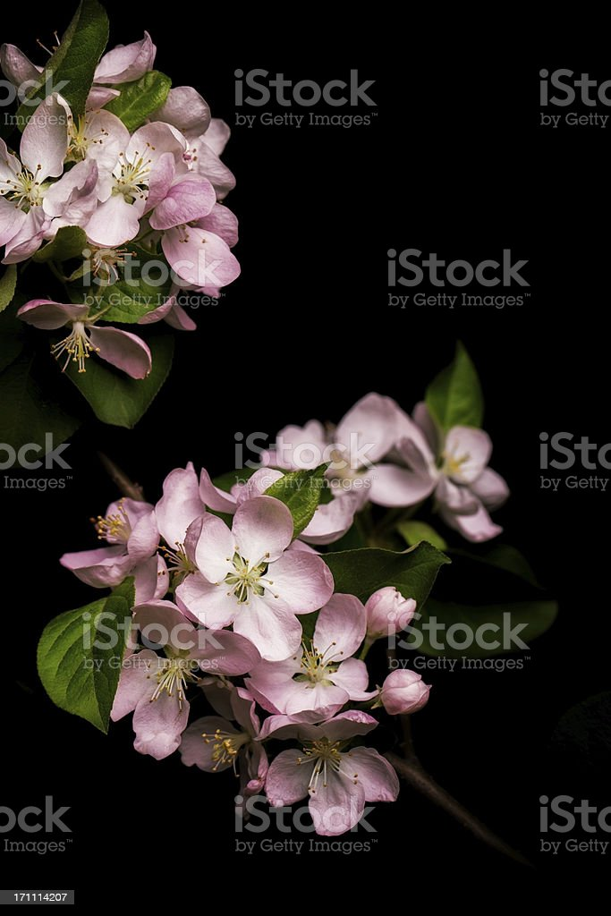 Apple blossom isolated on black background stock photo