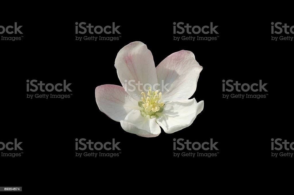 Apple Blossom Isolated on Black royalty-free stock photo