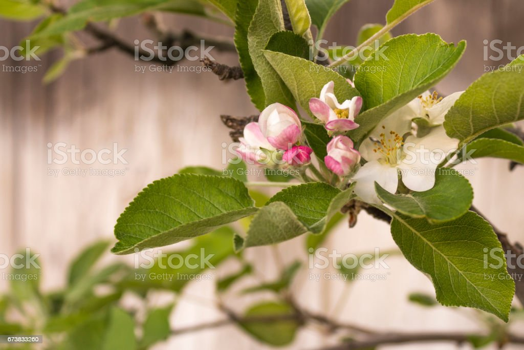 Apple Blossom on Old Gray Wooden Fence Background stock photo
