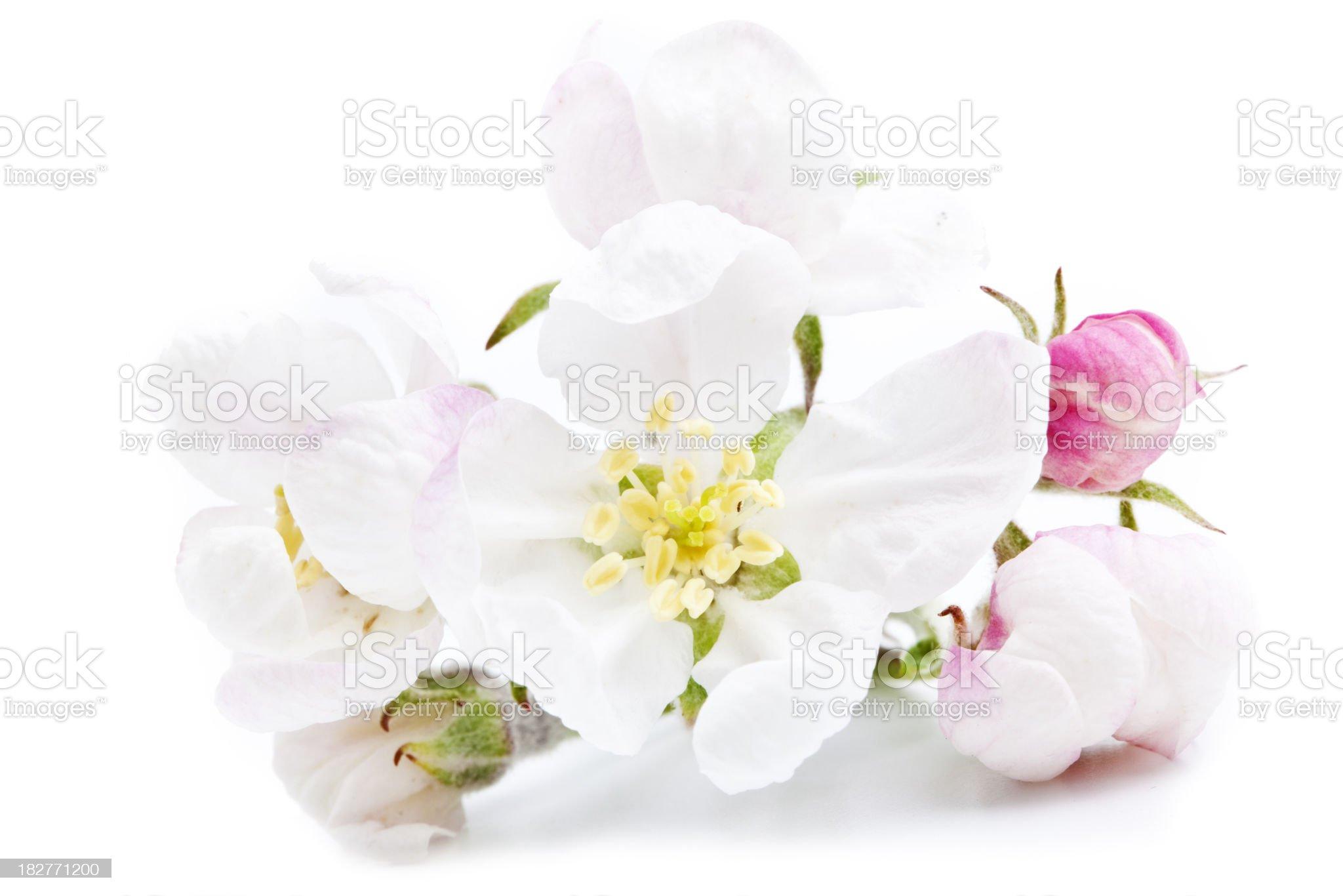 apple blossom royalty-free stock photo