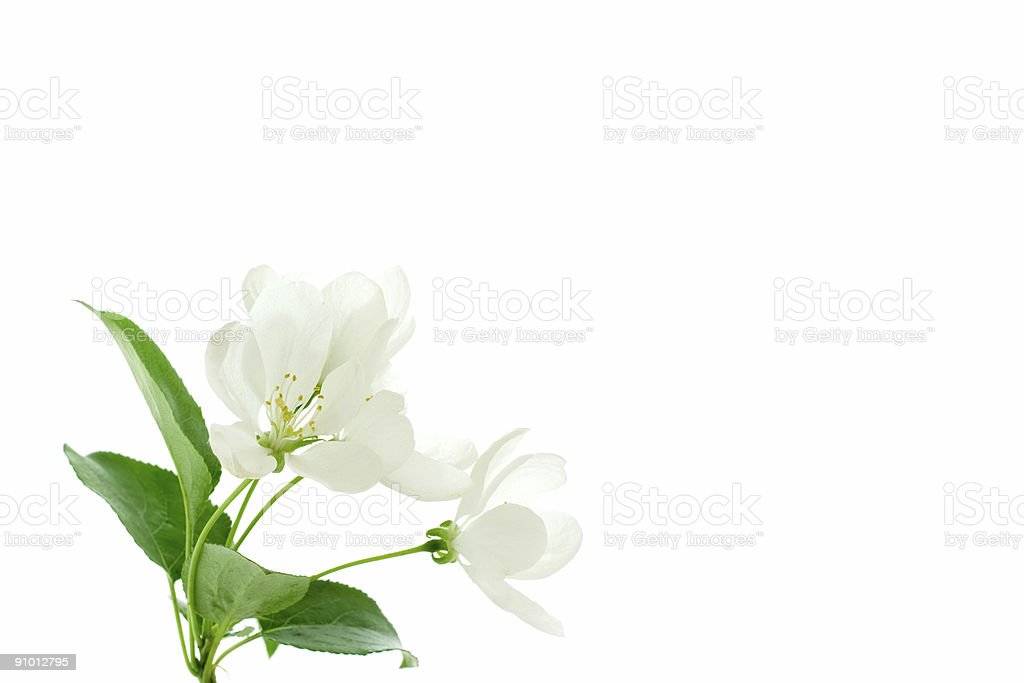 apple blossom royalty-free stock photo