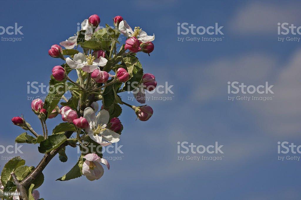 apple blossom sky stock photo