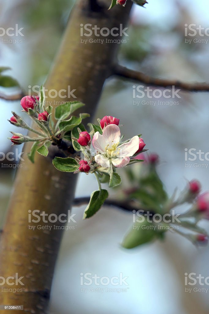 Apple Blossom with buds stock photo