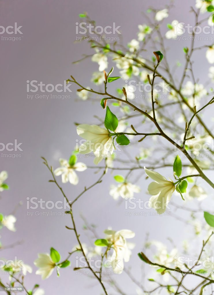 Apple blossoms against grey sky royalty-free stock photo