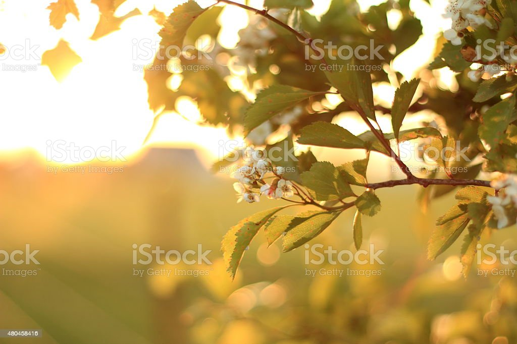 Apple blossoms at sunset stock photo