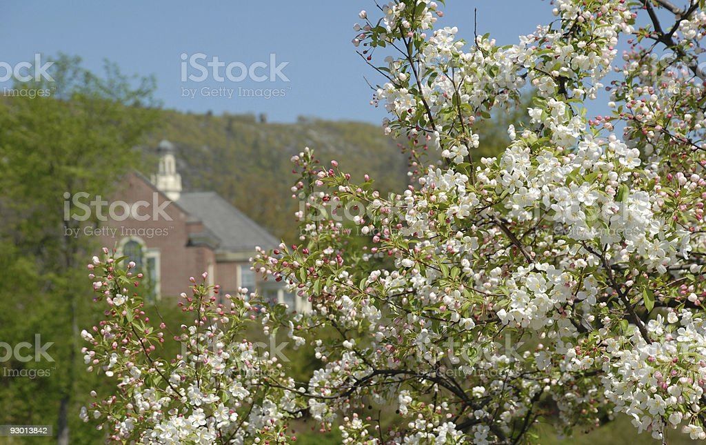 Apple blossoms bloom at Camden in Maine stock photo