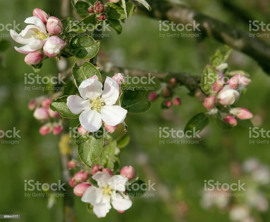 apple blossoms closeup royalty-free stock photo