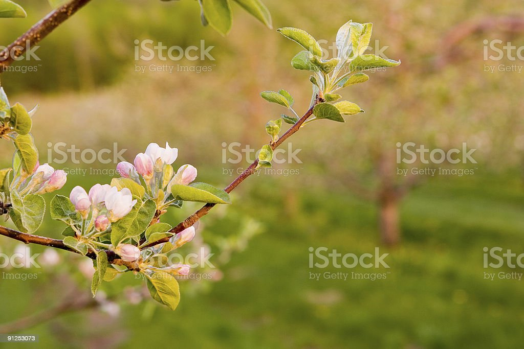 Apple Blossoms in Early Spring stock photo