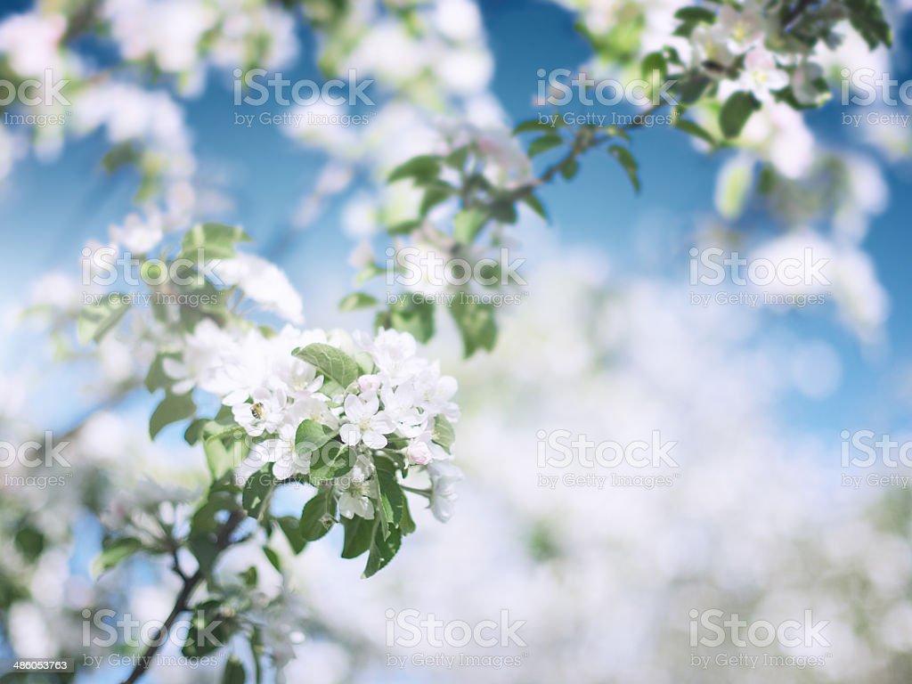 Fleurs de pomme en mai photo libre de droits