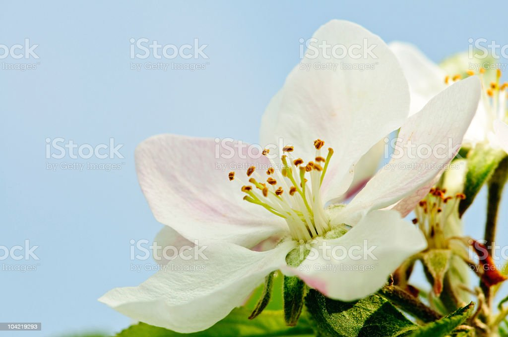 Apple blossoms in spring royalty-free stock photo