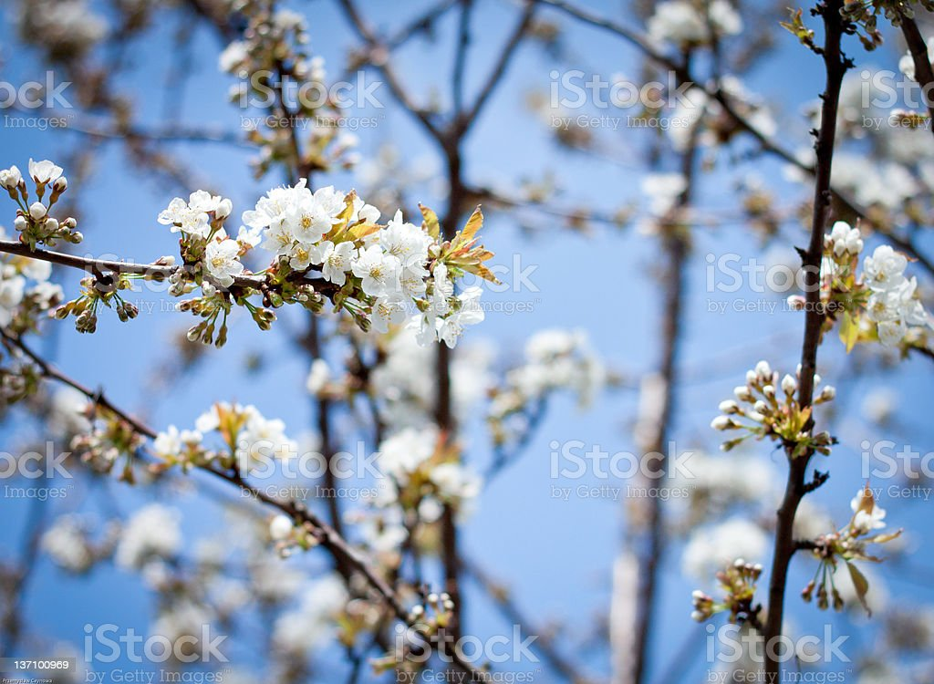 Apple Blossoms on Sunny Day royalty-free stock photo