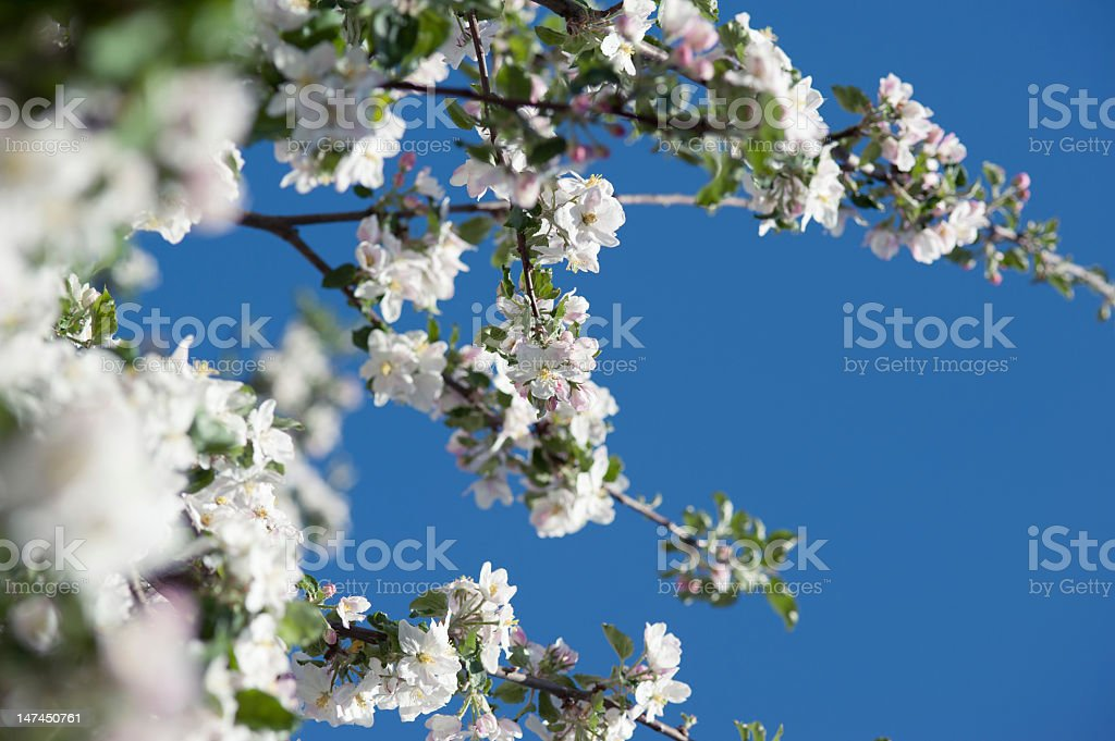 Apple blossoms on tree with beautiful blue sky royalty-free stock photo