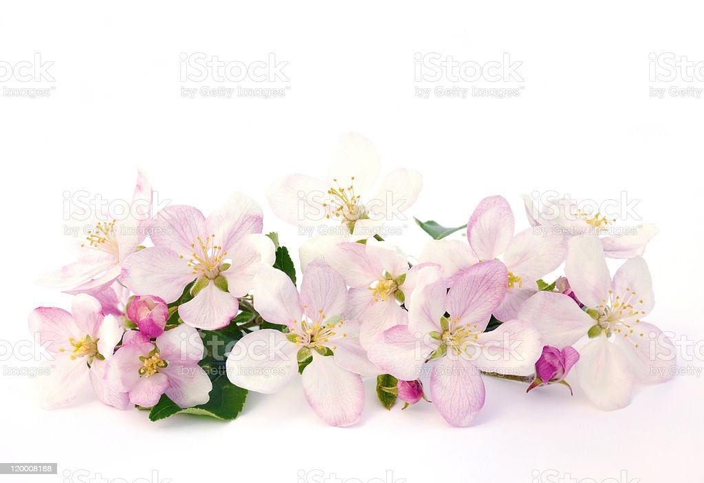 Apple blossoms over white background royalty-free stock photo