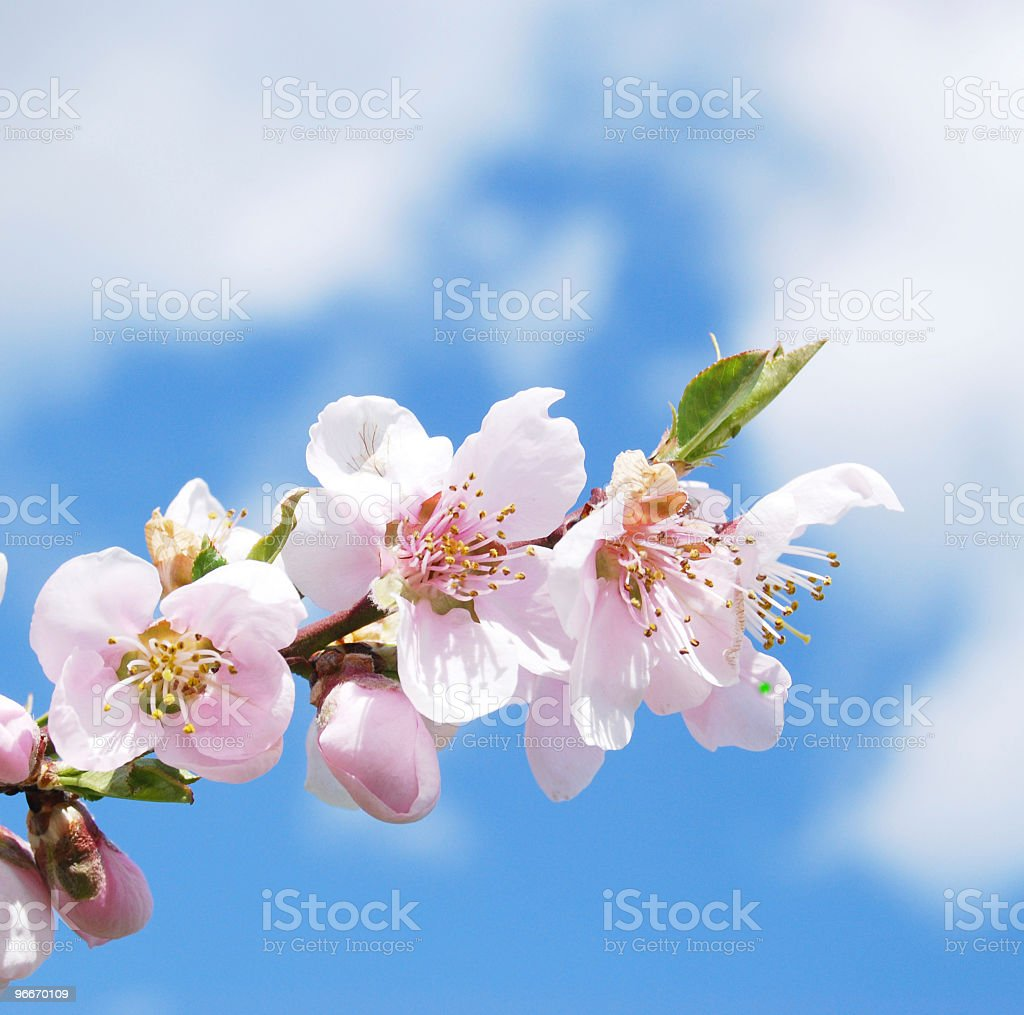 Apple Blossoms royalty-free stock photo