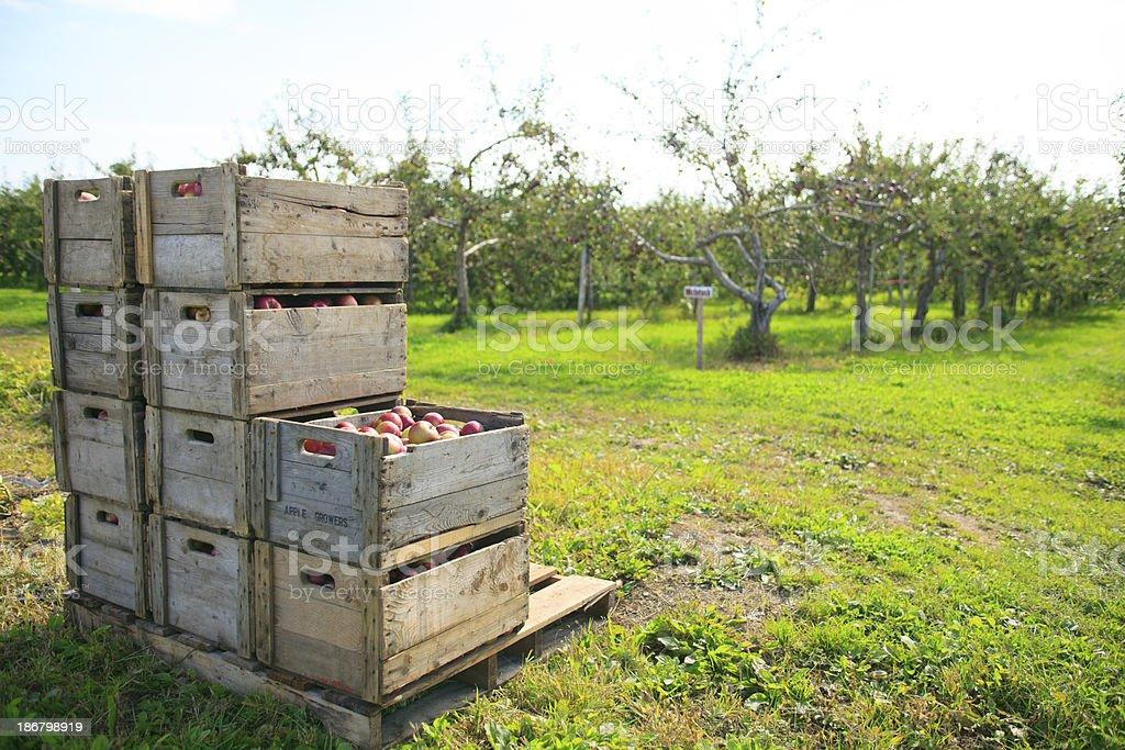 Apple Box - Tree royalty-free stock photo