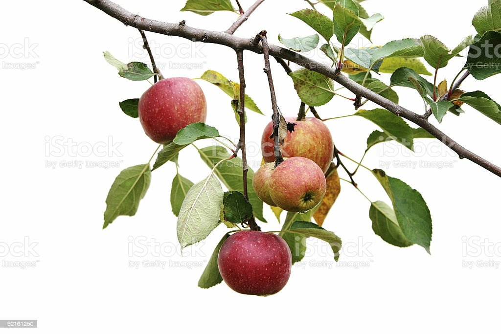 Apple branch stock photo