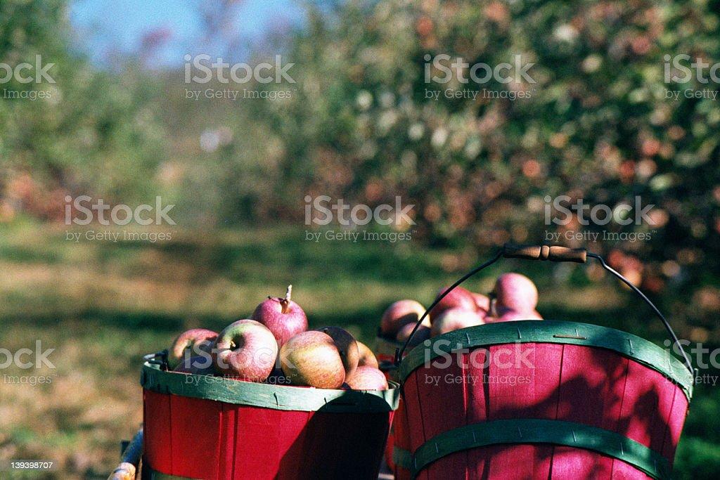 Apple Bushels 1 stock photo