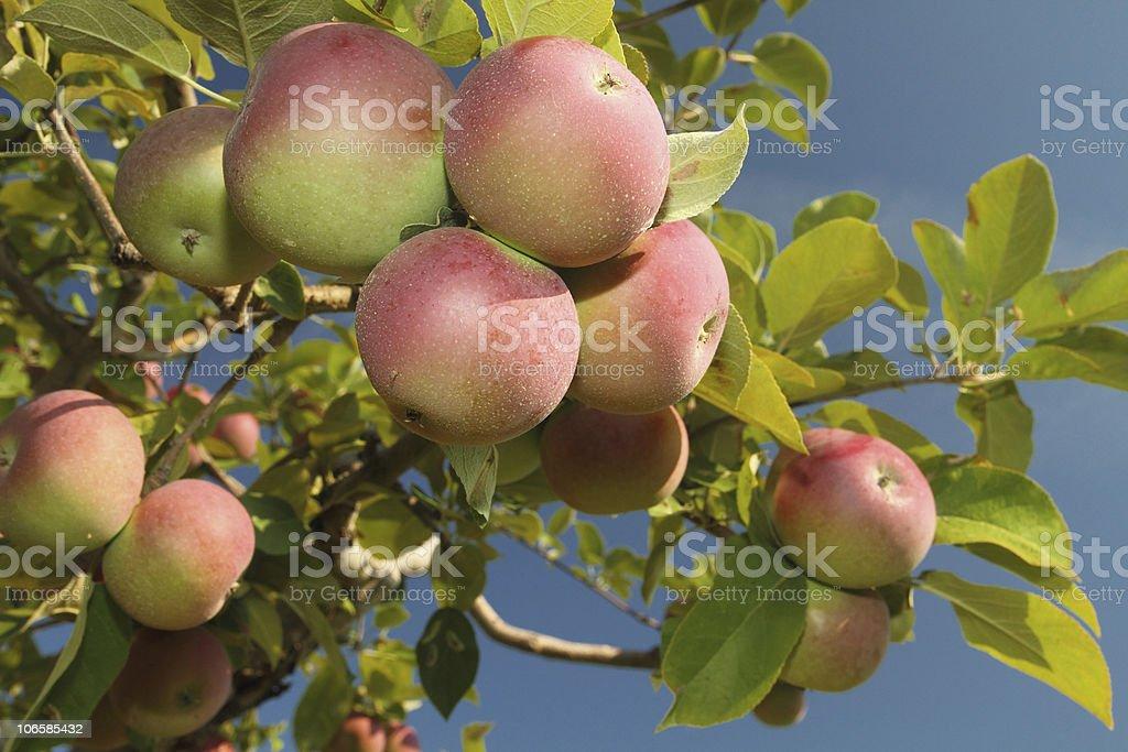 Apple cluster stock photo