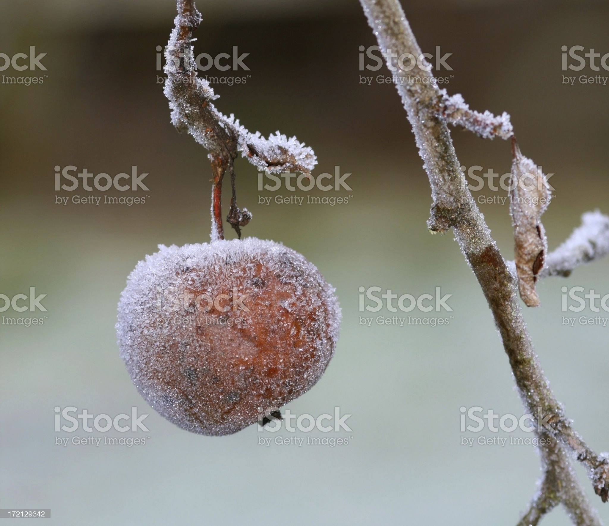 Apple covered with frost in december, Norway royalty-free stock photo