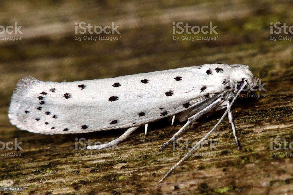 Apple ermine (Yponomeuta malinellus) in profile stock photo
