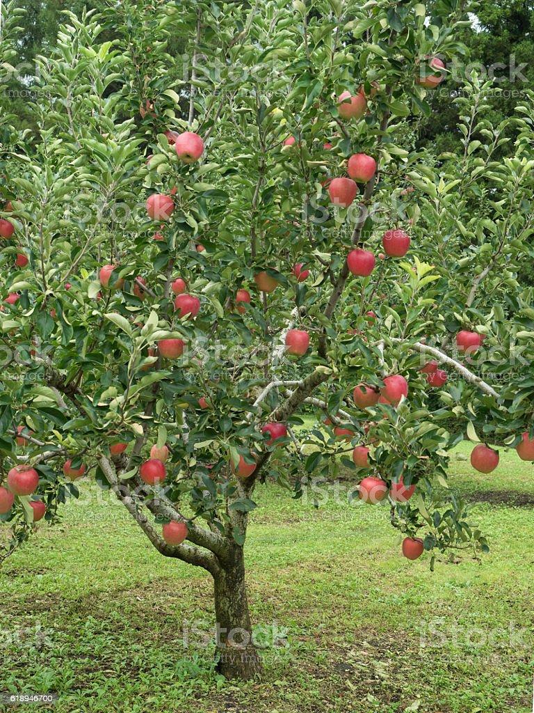 Apple field stock photo