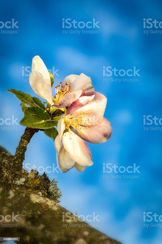 Apple flower agains bokeh sky stock photo