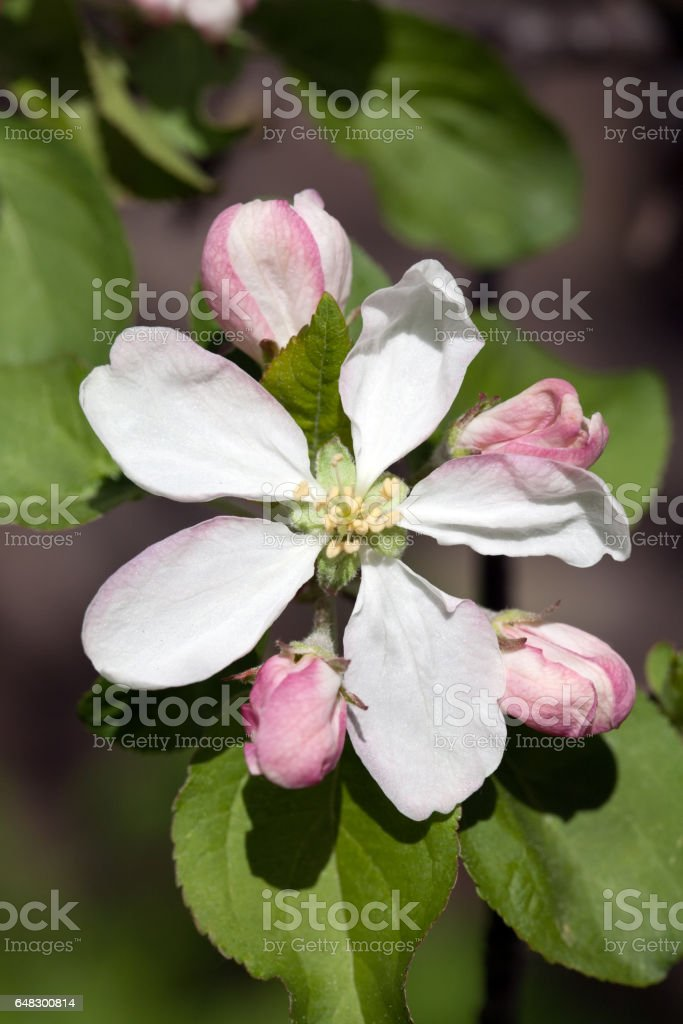 apple flower and buds stock photo