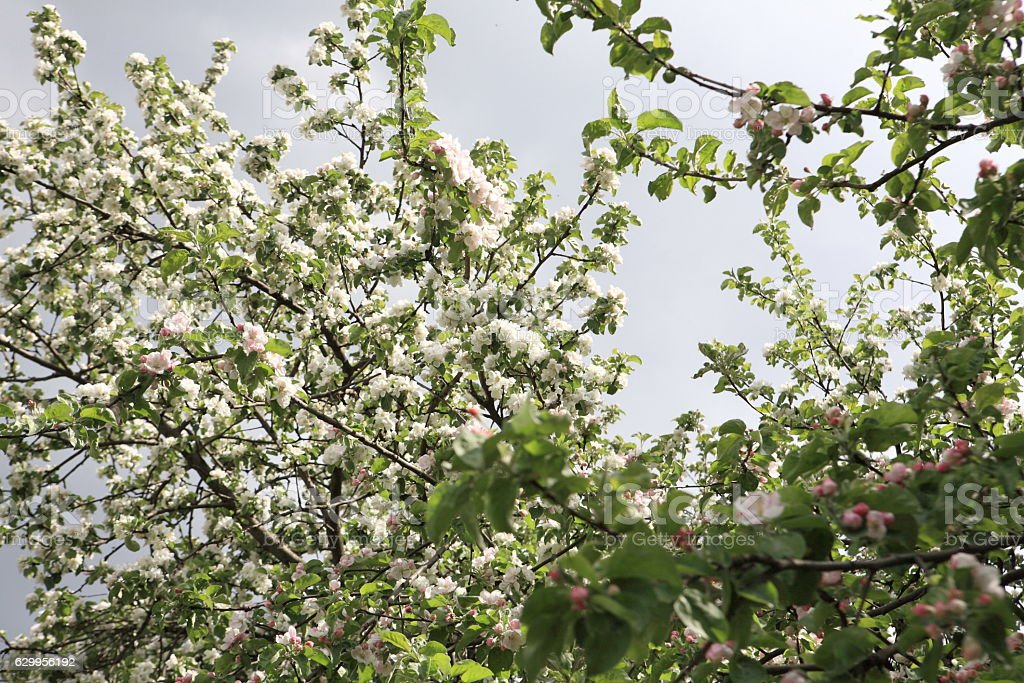 Apple Flower at Spring stock photo