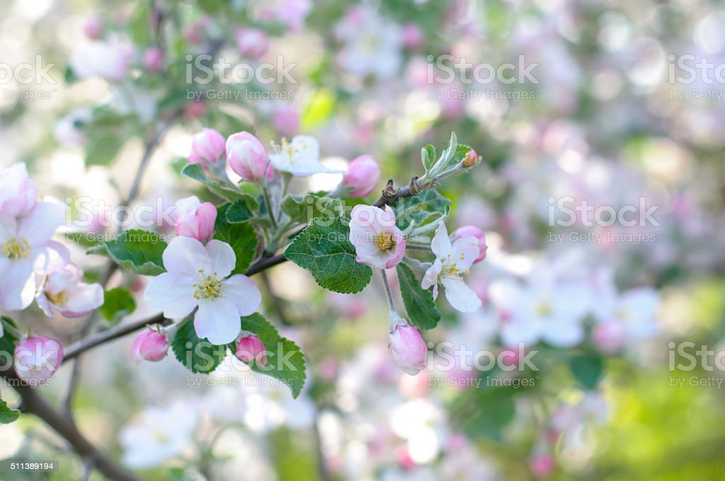Apple flower branch/ Springtime beautiful natural background stock photo