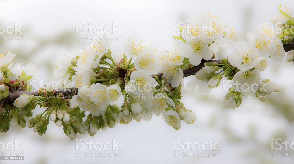 Apple Flowers Blooming High Key royalty-free stock photo