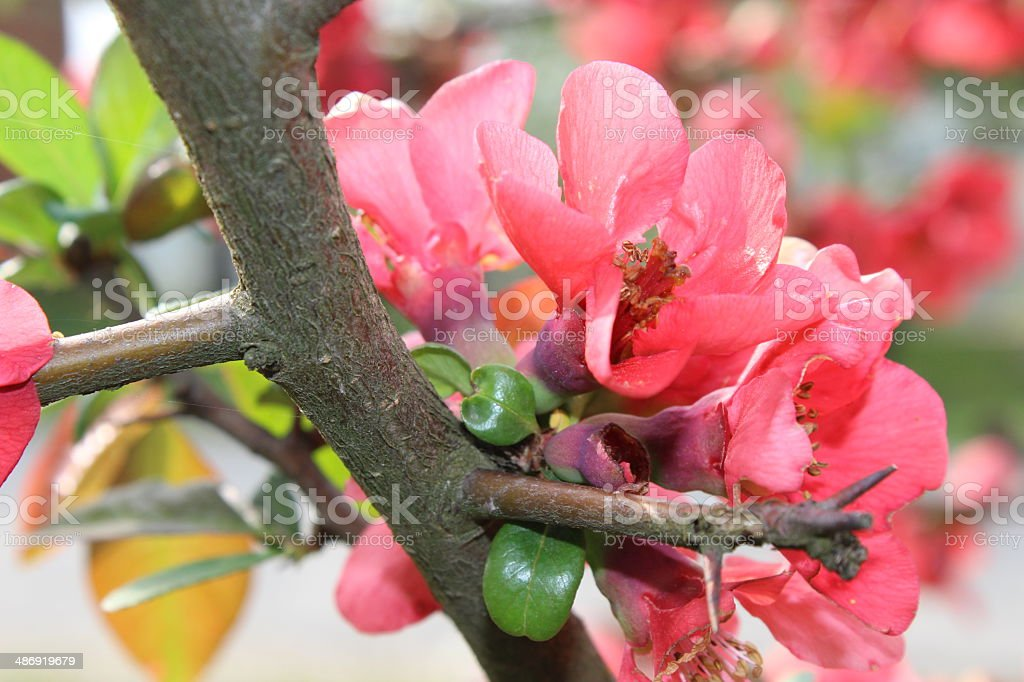 Apple flowers, blossom flowers and spring flowers stock photo