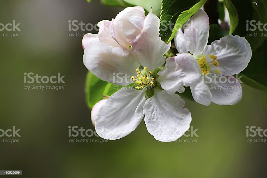 apple flowers royalty-free stock photo