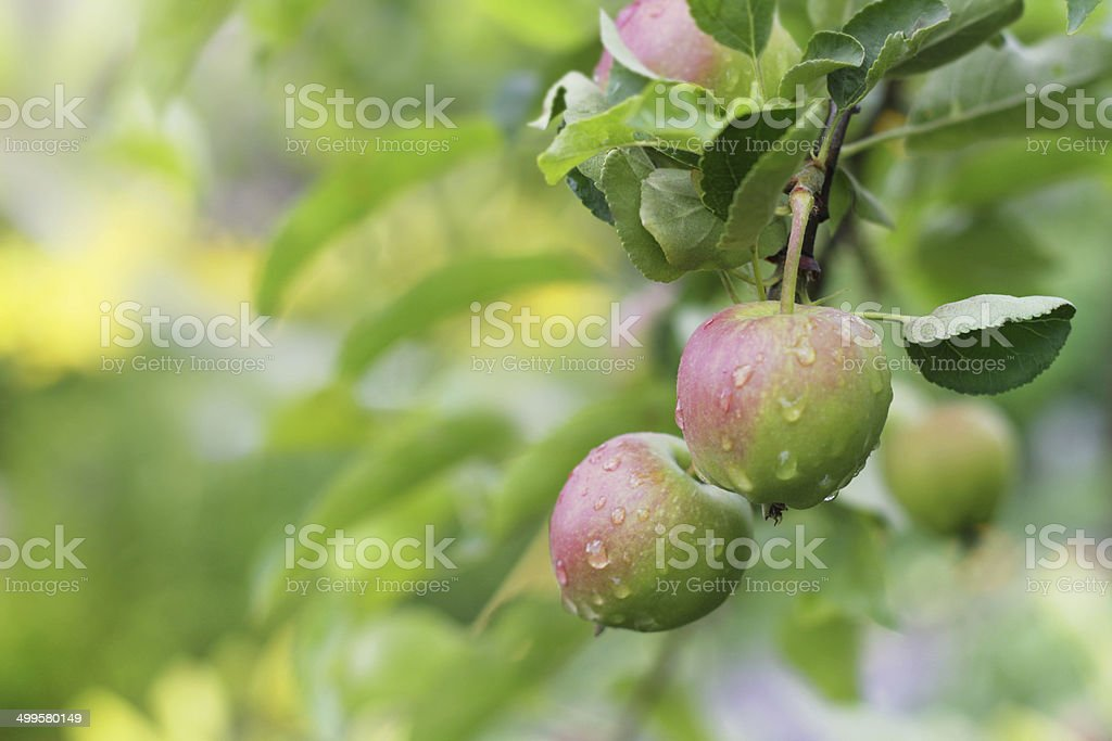 Apple fruits in garden after rain. stock photo