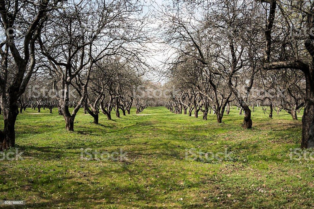 Apple garden in Kolomenskoe park, oskow, Russia. stock photo