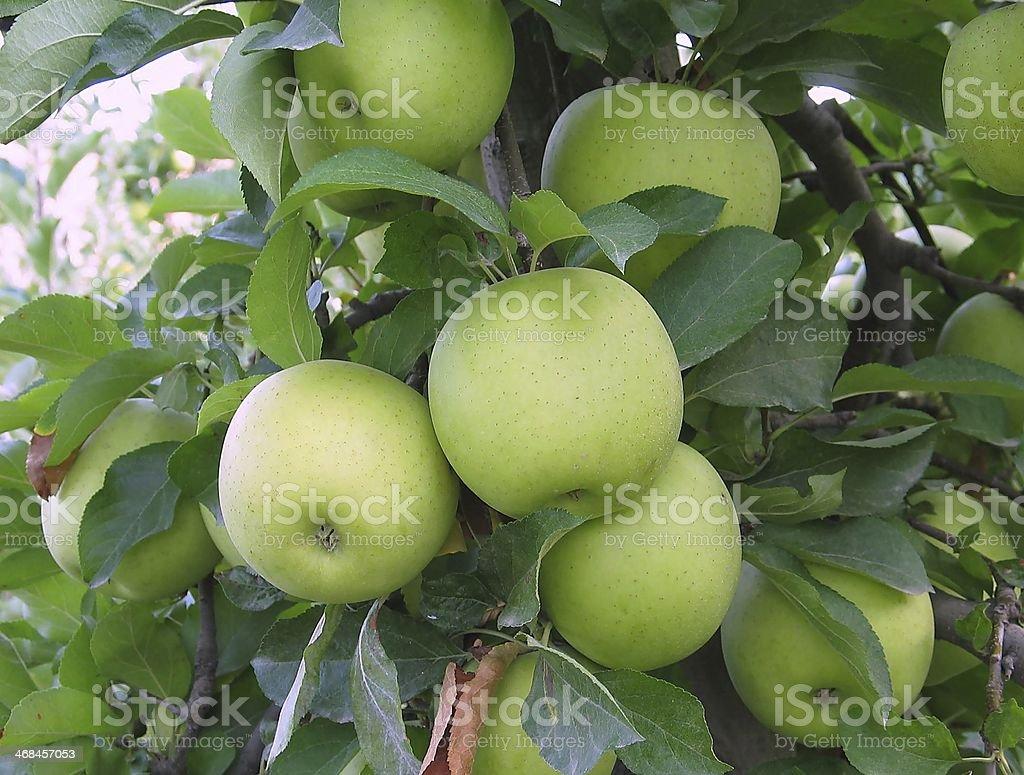 apple golden delicious stock photo