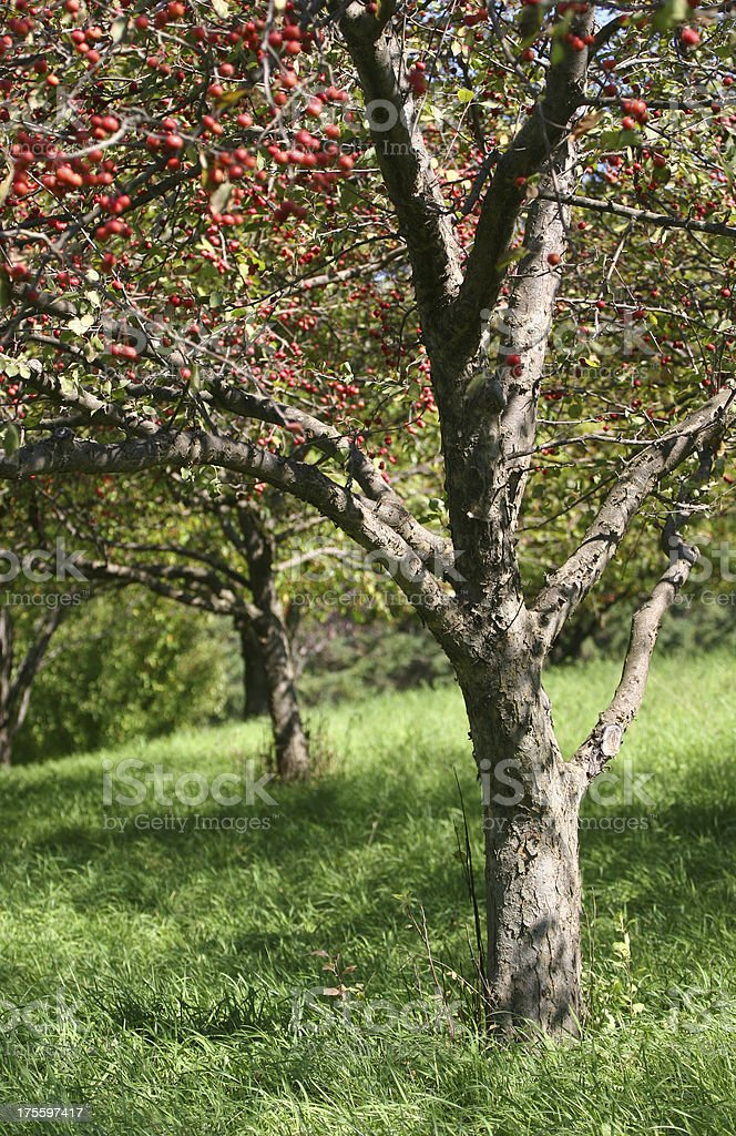 Apple Grove royalty-free stock photo