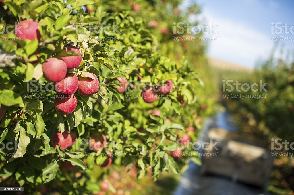 Apple hanging from tree stock photo