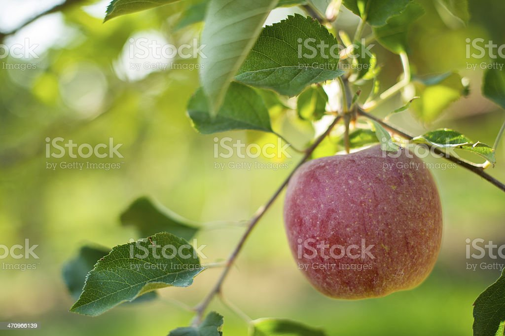 Apple hanging from tree royalty-free stock photo