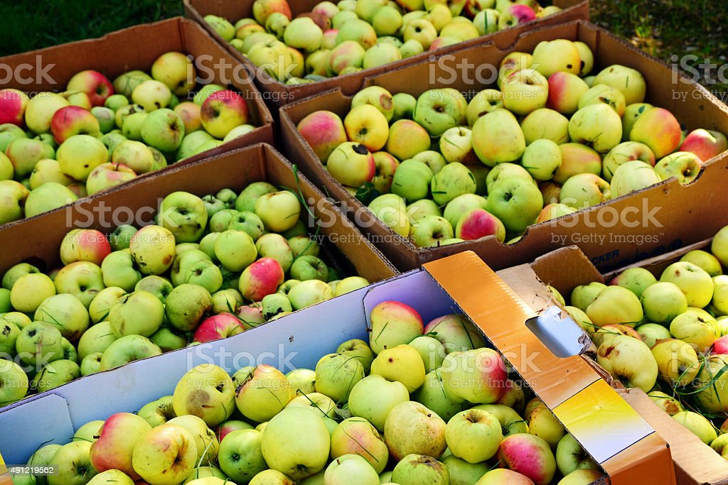apple harvest, boxes full of windfalls for fruit juice stock photo