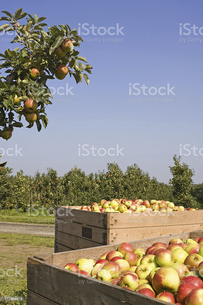Apple harvest - orchard # 43 XL royalty-free stock photo
