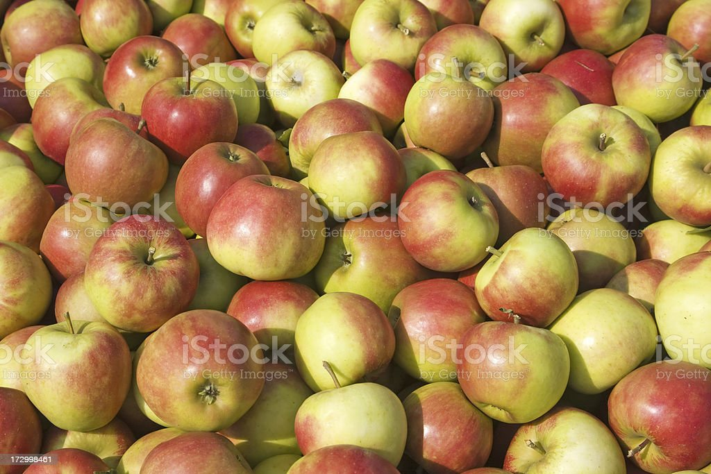 Apple harvest - orchard # 42 XL royalty-free stock photo