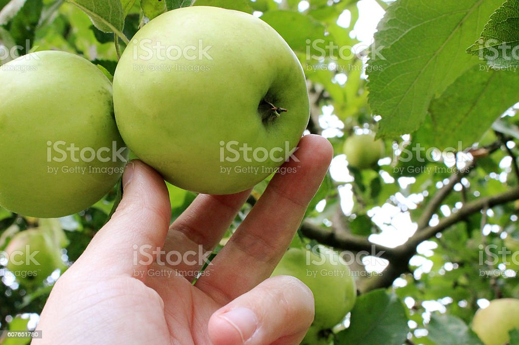 Apple harvest with hand stock photo